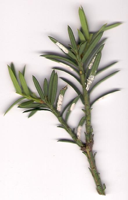 Taxuswolluis